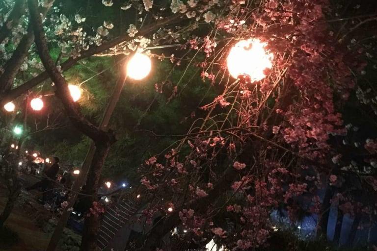 酒津公園夜桜